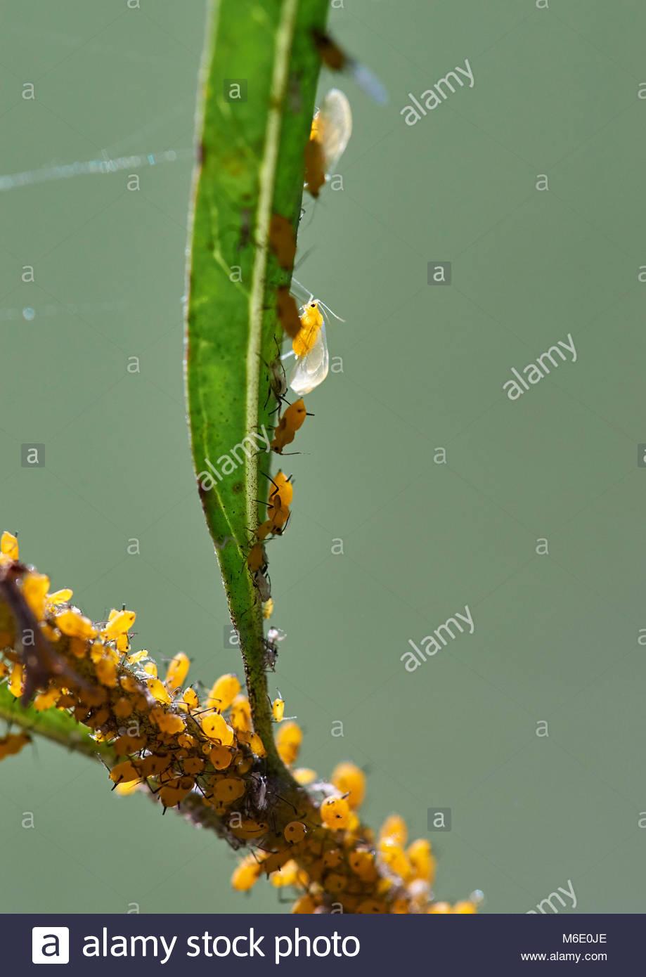 Hintergrundbeleuchtung Blattläuse (Aphis nerii) Clustered auf-saugen die sap-von-ein Ballon Anlage (Gomphocarpus Stockbild