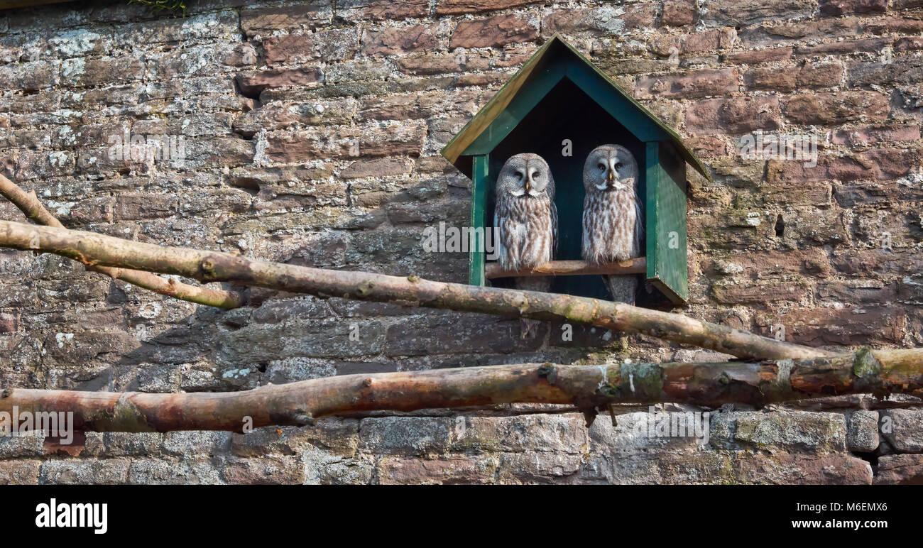 Ein paar der Bartkauz ist Stare teilnahmslos aus Ihren Vogel in Camperdown Wildlife Centre in Dundee. Stockbild
