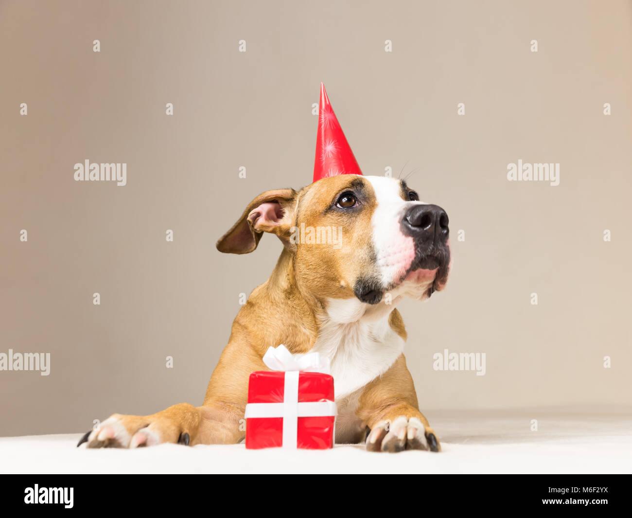 Lustige Pitbull Welpen In Geburtstag Hut Mit Kleiner Uberraschung
