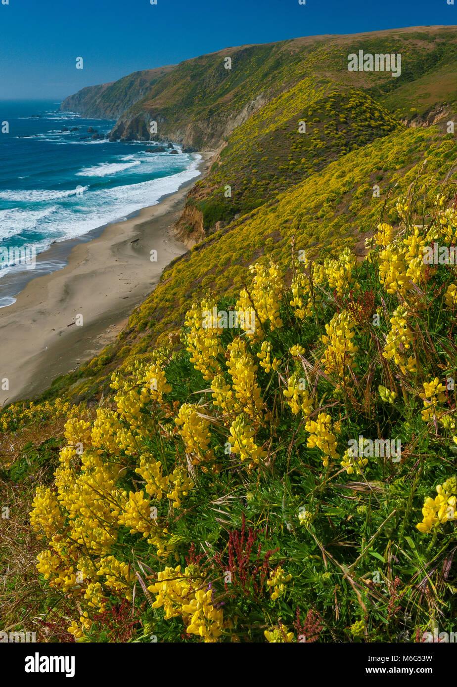 Gelbe Baum Lupine, Tomales Point, Point Reyes National Seashore, Marin County, Kalifornien Stockbild