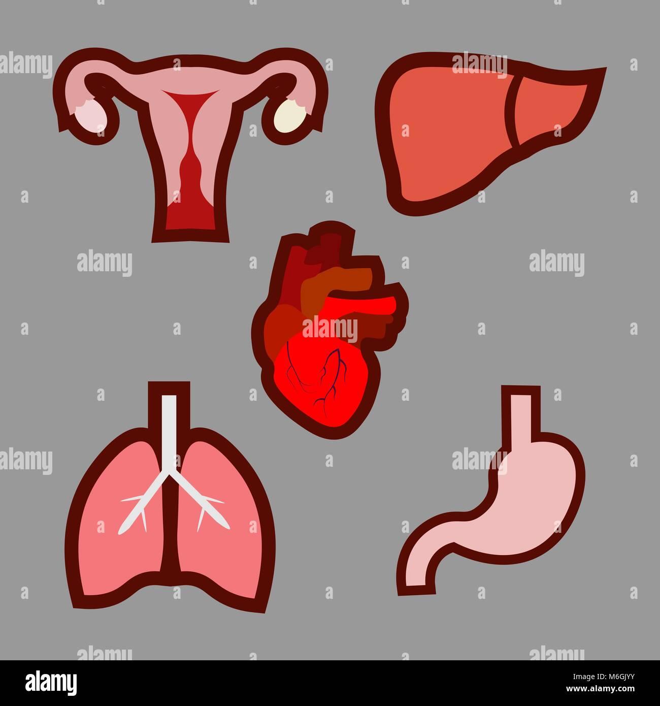Cartoon menschliche Organe. Anatomie des Körpers. Der ...