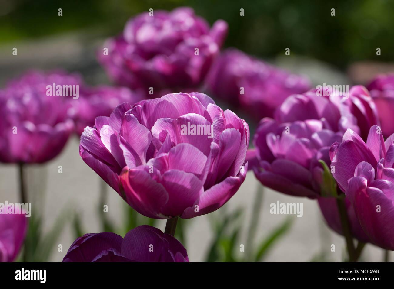 'Lilac Perfection' Doppelte spät Tulip, Sen fylldblommig Tulpan (Tulipa gesneriana) Stockbild