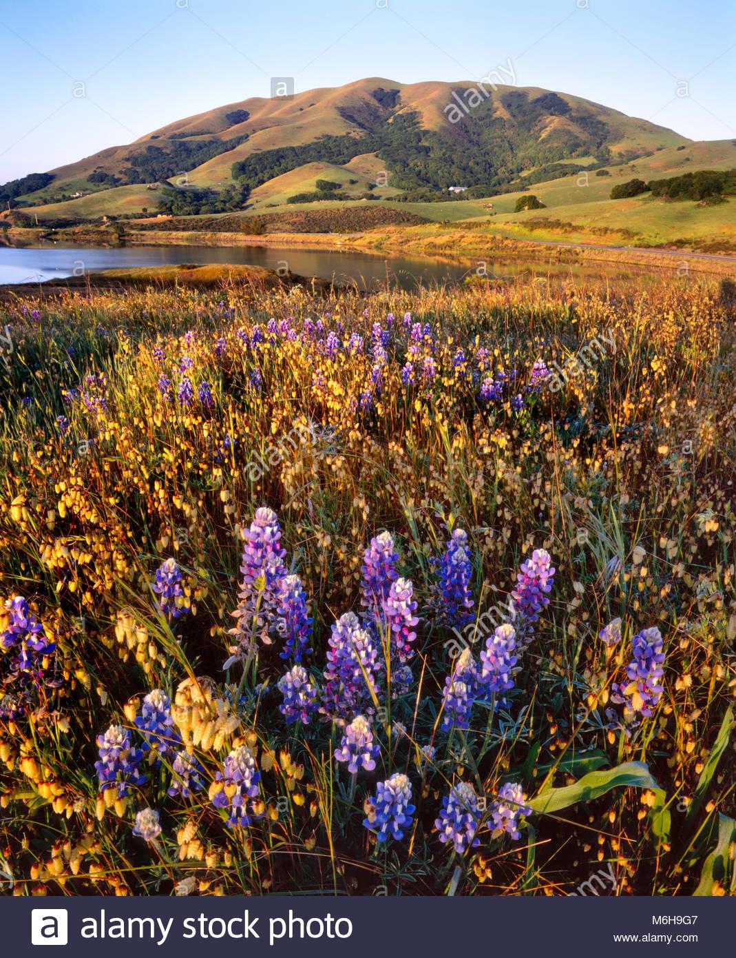 Wildblumen auf Knoll und Schwarzen Berg, Nicasio, Marin County, Kalifornien Stockbild