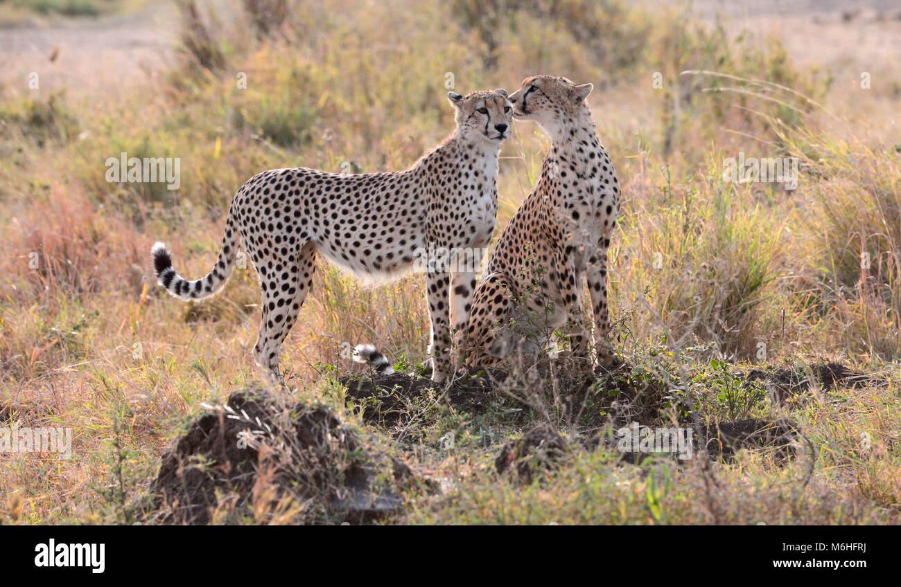 Serengeti Nationalpark in Tansania, ist einer der spektakulärsten Tierwelt Reiseziele der Erde. Cheetah Brüder Stockbild