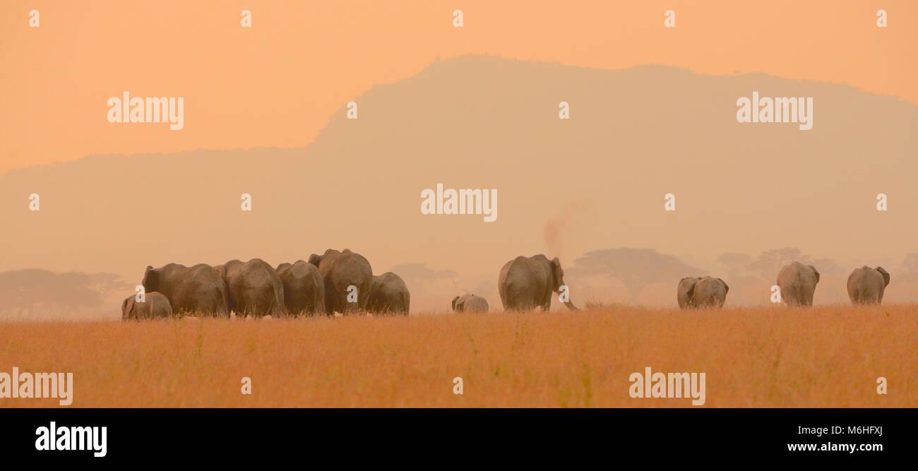 Serengeti Nationalpark in Tansania, ist einer der spektakulärsten Tierwelt Reiseziele der Erde. Elefantenherde Stockbild