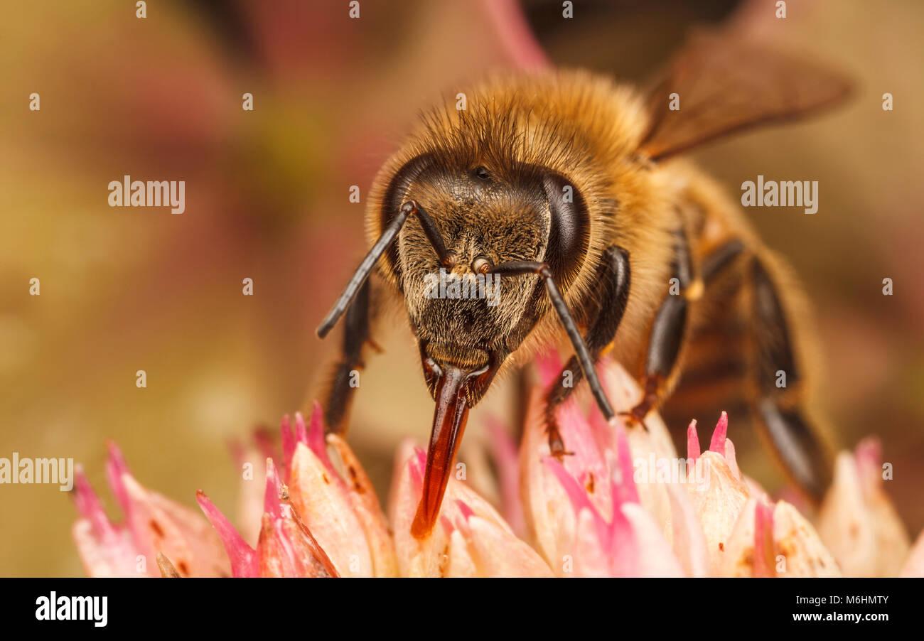 Westliche Honigbiene, Nahaufnahme Makro Fotografie Stockbild