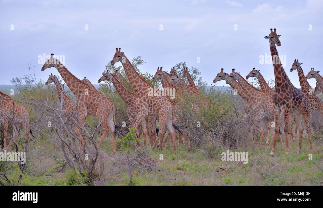 Krüger Nationalpark, Südafrika. Ein Wild- und Vogelparadies. Langer Necked Giraffe Stockbild