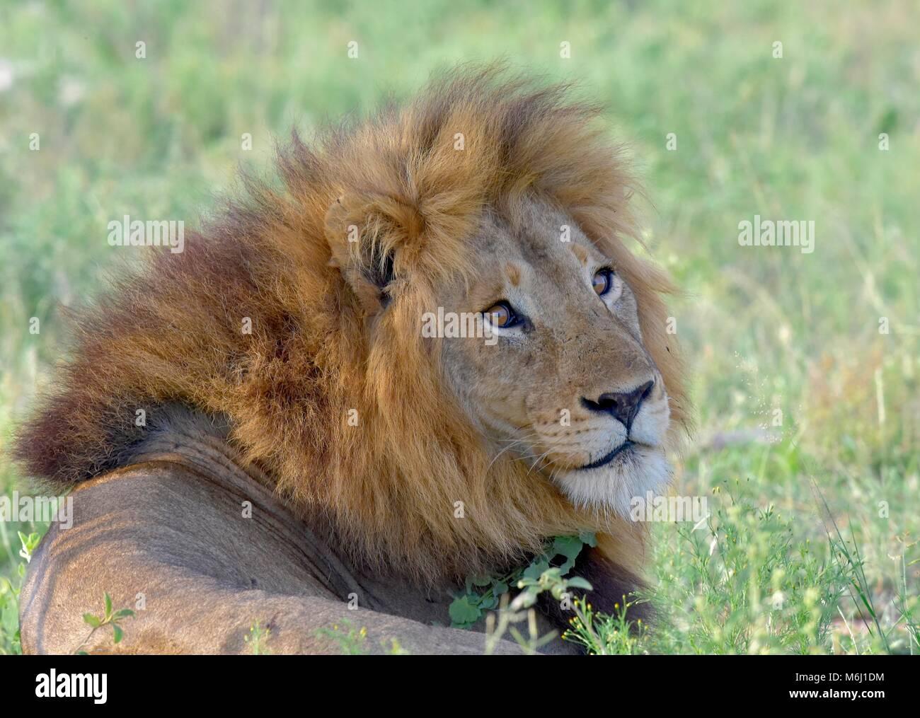 Krüger Nationalpark, Südafrika. Ein Wild- und Vogelparadies. Atemberaubende Mähnenlöwen portrait Stockbild