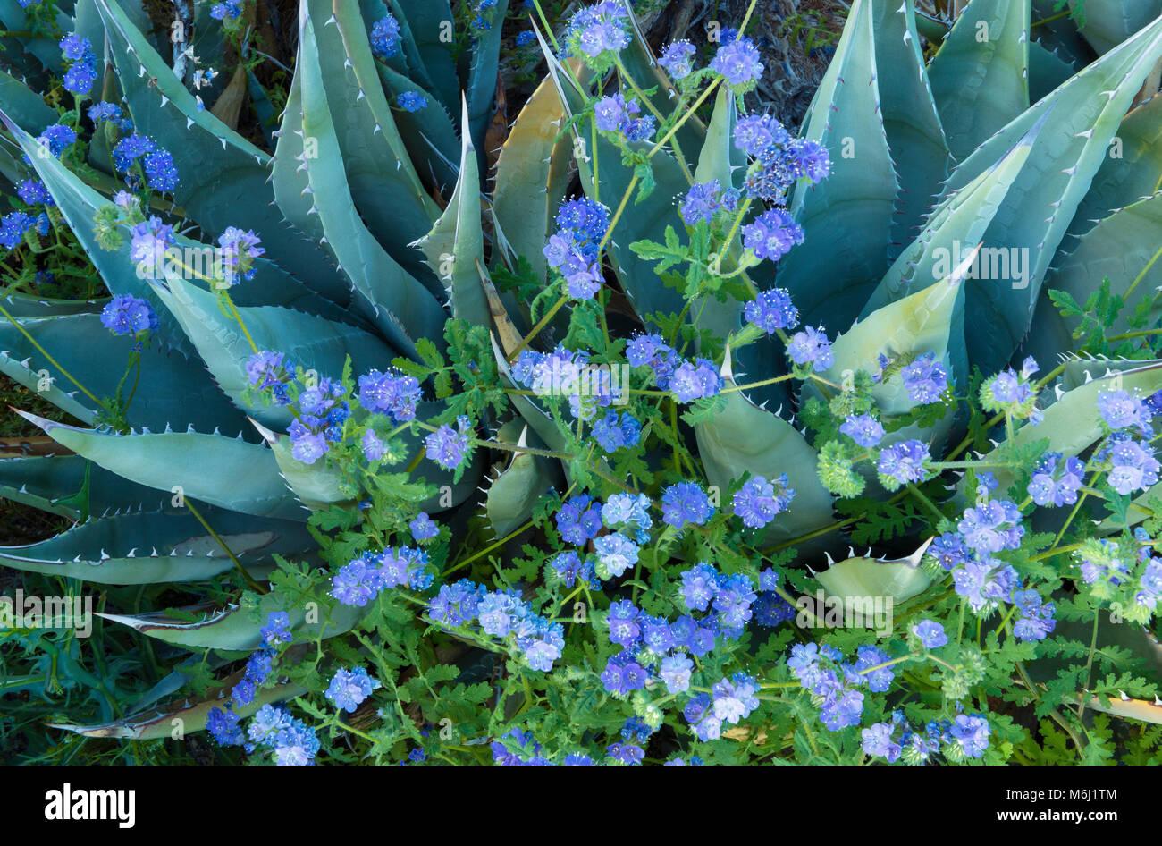 Agave, Blau Phacelia, Glorietta Canyon, Anza-Borrego Desert Stockbild
