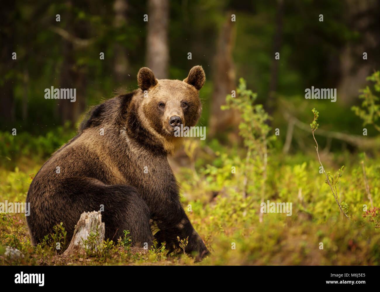 Nahaufnahme des Eurasischen brauner Bär (ursos arctos) männlich im borealen Wald, Finnland sitzen. Stockfoto