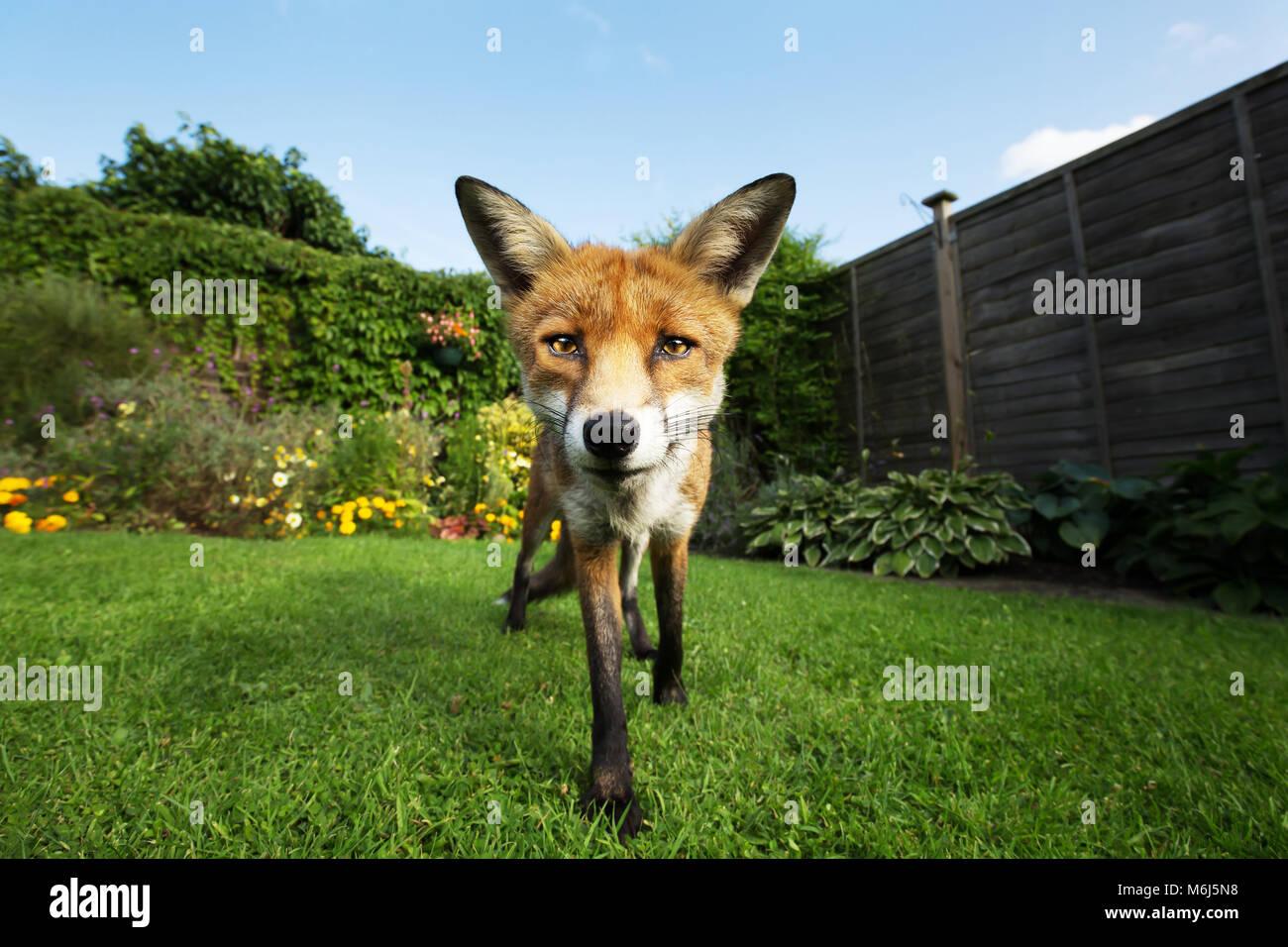 Red Fox stehen im Garten mit Blumen, Sommer in Großbritannien. Stockbild