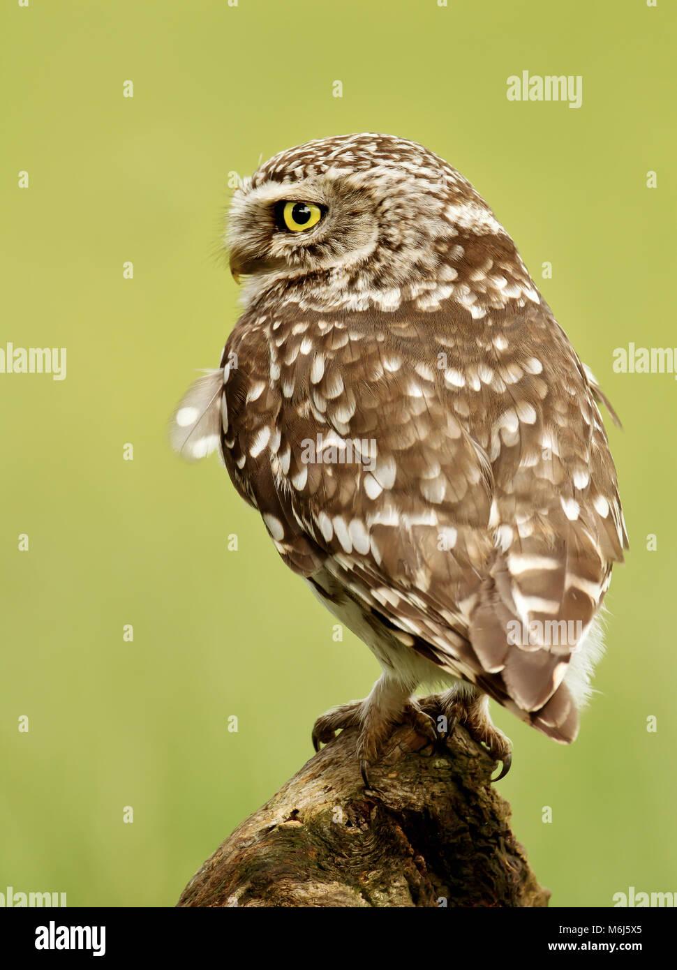 Nahaufnahme eines kleine Eule hocken auf einem Baumstamm, UK. Stockbild