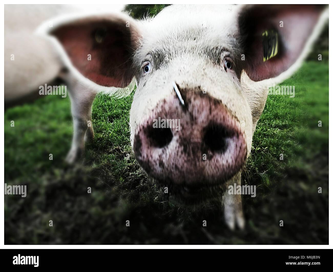 Gruppe von Schweinen auf den Beobachter beobachten Stockbild