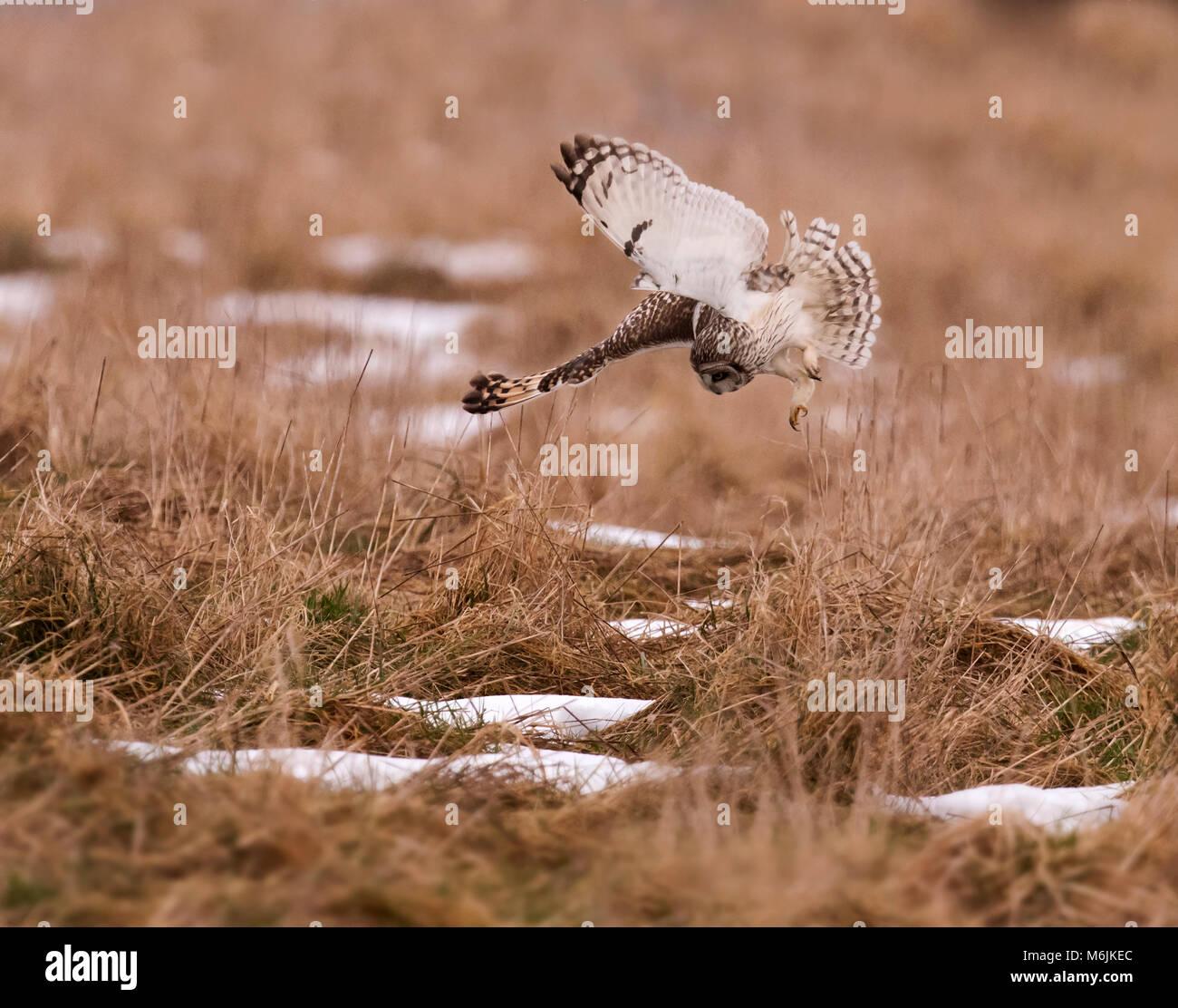 Wild Short Eared Owl (Asio Flammeus) Tauchen auf ahnungslose Beute in Gloucestershire Stockfoto
