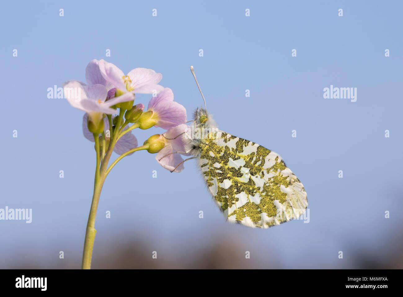 Orange Tip Anthocharis cardamines Schmetterling; Single; Weiblicher Rastplätze auf Wiesenschaumkraut Lancashire, Stockbild