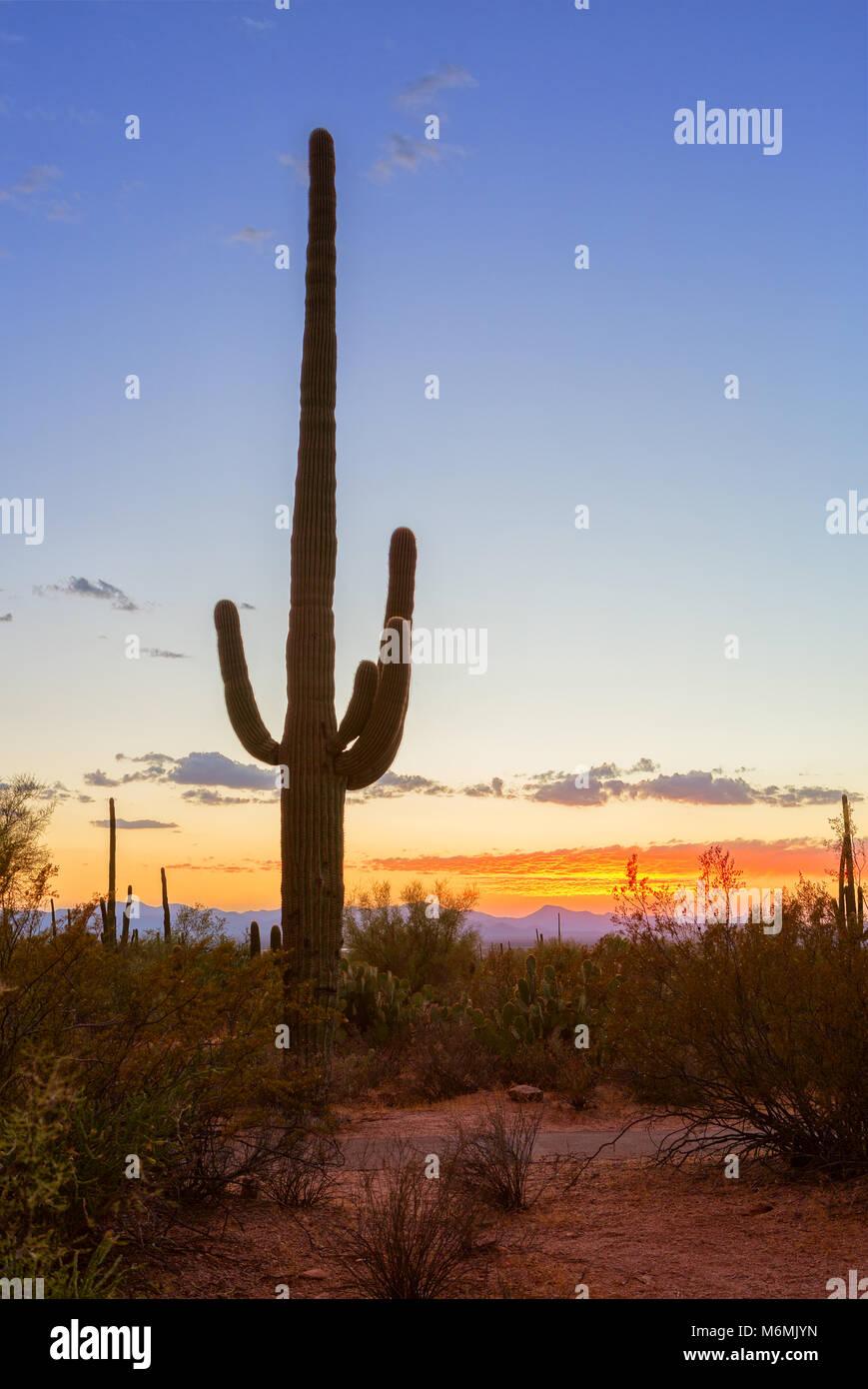 Sonnenuntergang in den Saguaro National Park, in der Nähe von Tucson, südöstlichen Arizona, Usa. Saguaro Kaktus (Carnegiea gigantea) steht gegen eine Eve Stockfoto