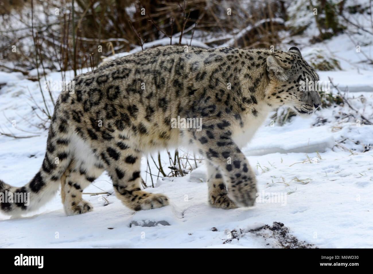 Captive snow leopard (Panthera uncia) bei Highland Wildlife Park Kincraig, Kingussie, Schottland, UK Stockbild