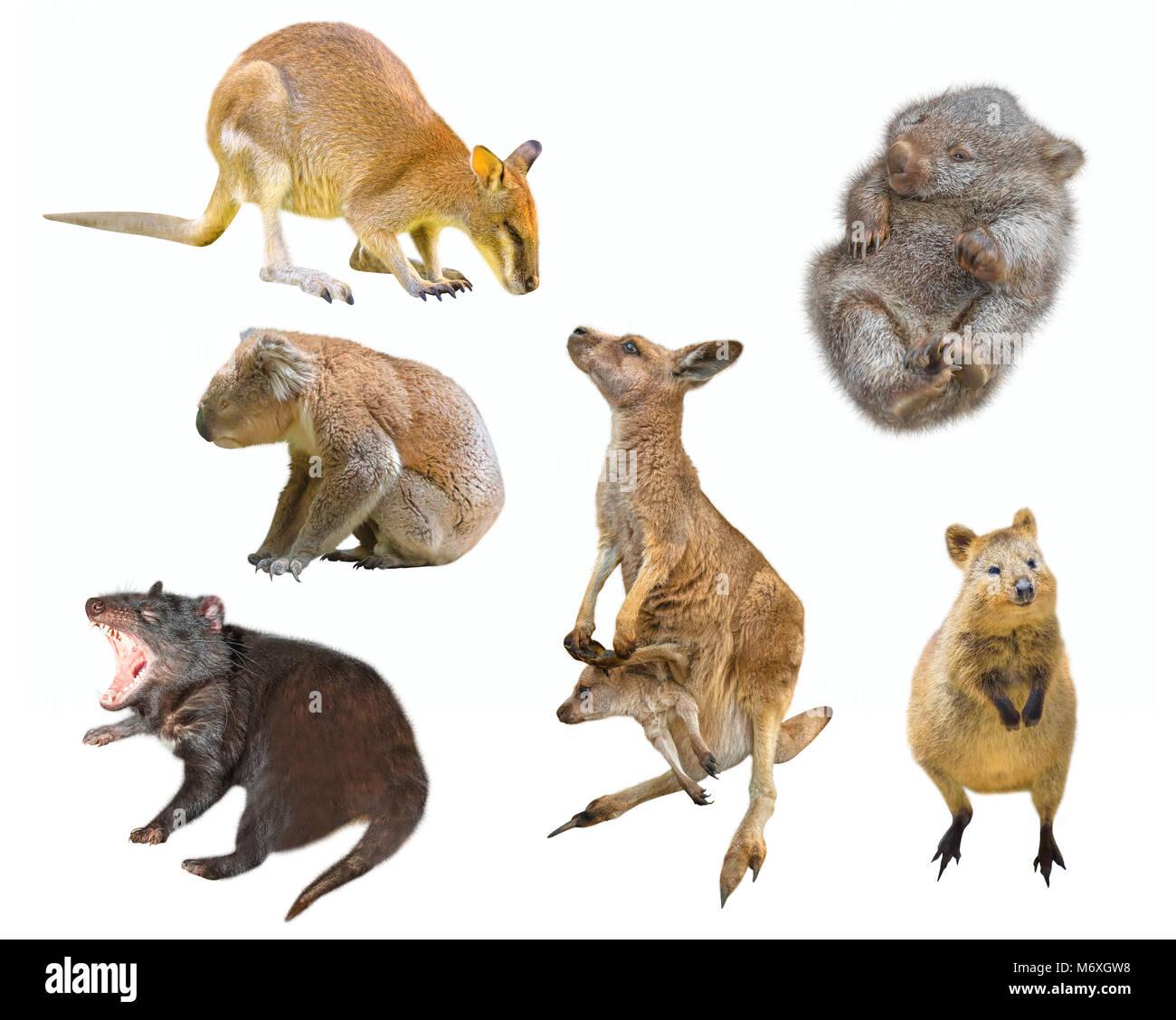 Collage der australische Beuteltier Säugetiere, auf weißem ...