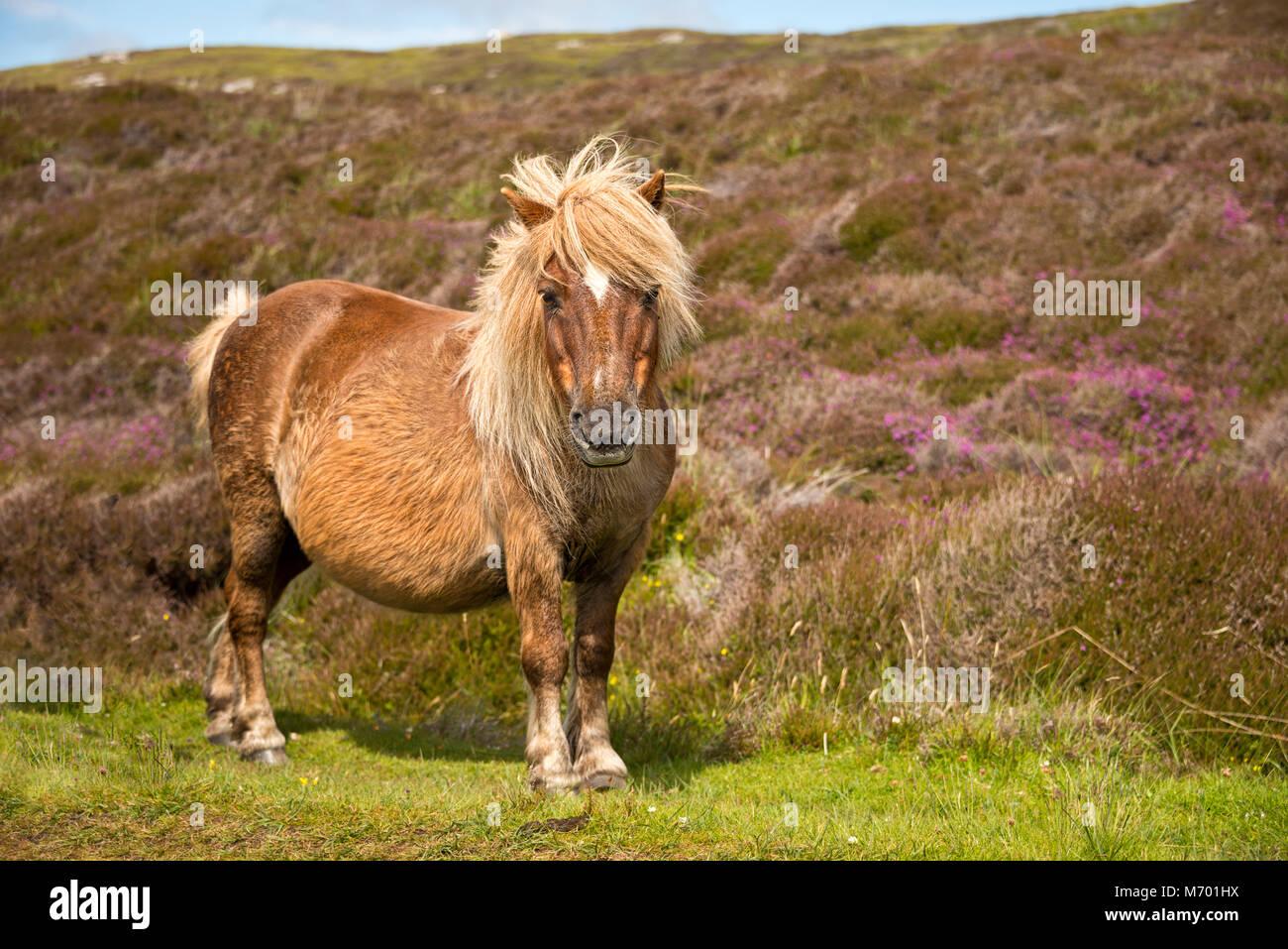 Shetland pony South Uist Äußere Hebriden Schottland Stockbild