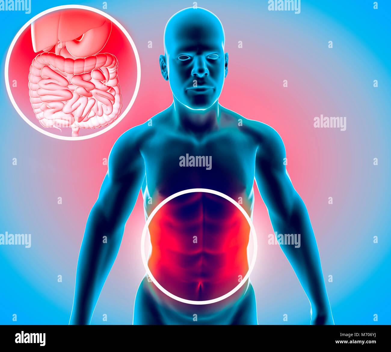 Menschliche Körper, Mann, Verdauungssystem, Anatomie. Darm. Die ...