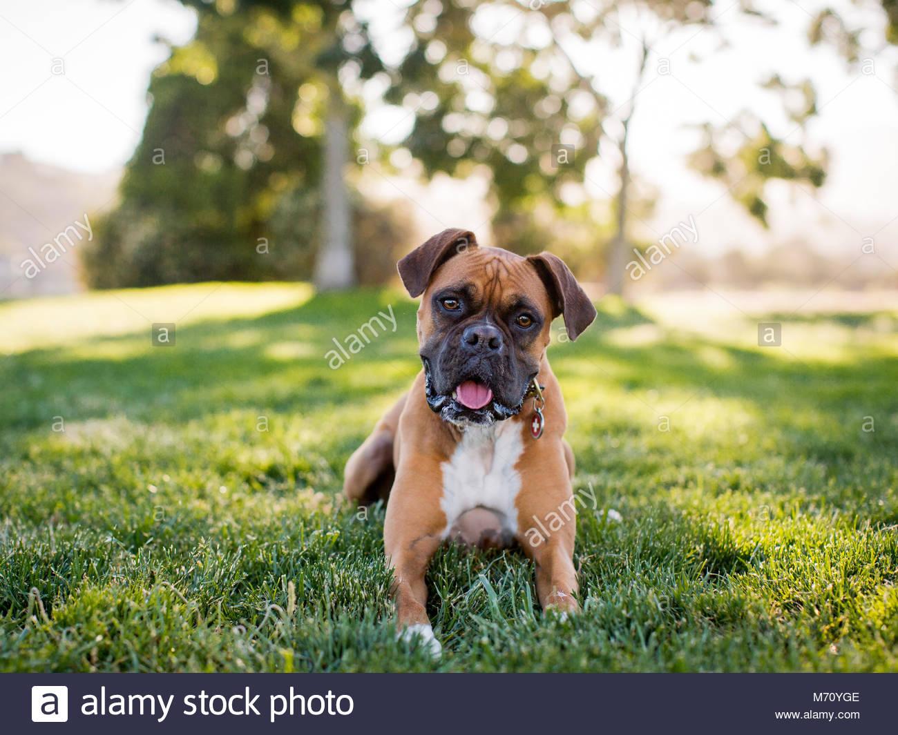 Gerne weiß und tan Boxer liegen im Feld auf Gras in Richtung Kamera schaut Stockbild