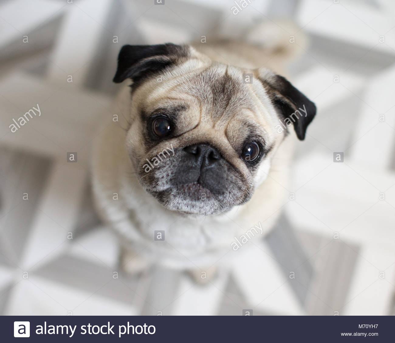 Close-up Portrait von älteren Mops mit grauen Schnauze suchen Stockbild