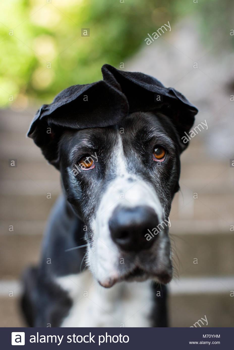 Outdoor Portrait von Schwarzen und Weißen Dogge mit gefühlvollen braune Augen und Ohren gefaltet auf den Stockbild