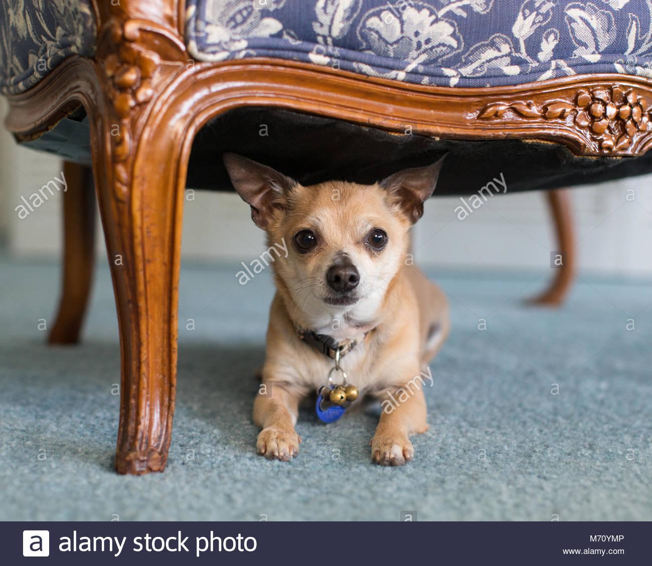 Tan Chihuahua zur Festlegung auf blauen Teppich unter einem Stuhl in Richtung Kamera schaut Stockbild