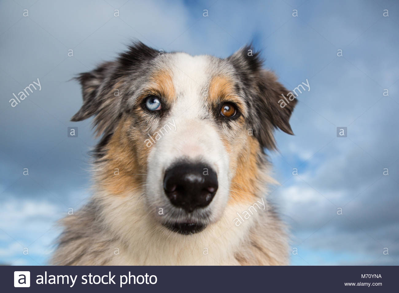 Australian Shepherd Blue Merle mit einem braunen Augen und blauen Auge gegen einen blauen Himmel bei Weitwinkel Stockbild