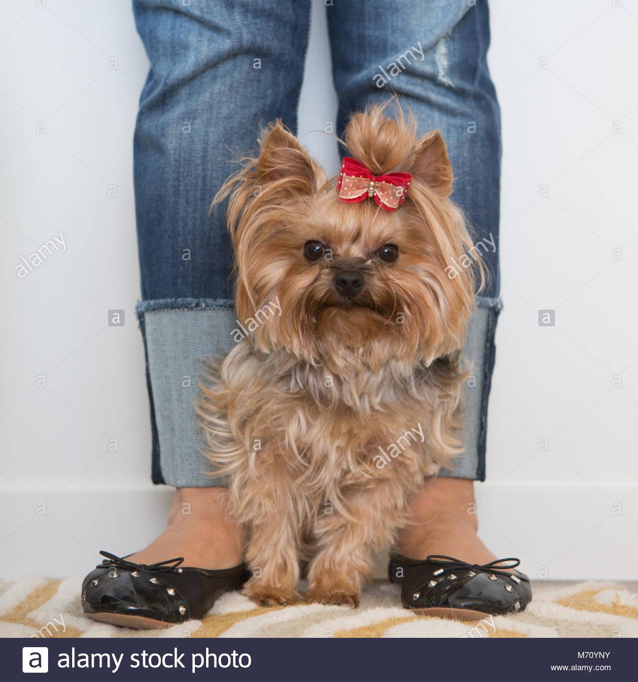 Braun und Silber Yorkshire Terrier mit roter Schleife stehen zwischen womans Füße Stockbild