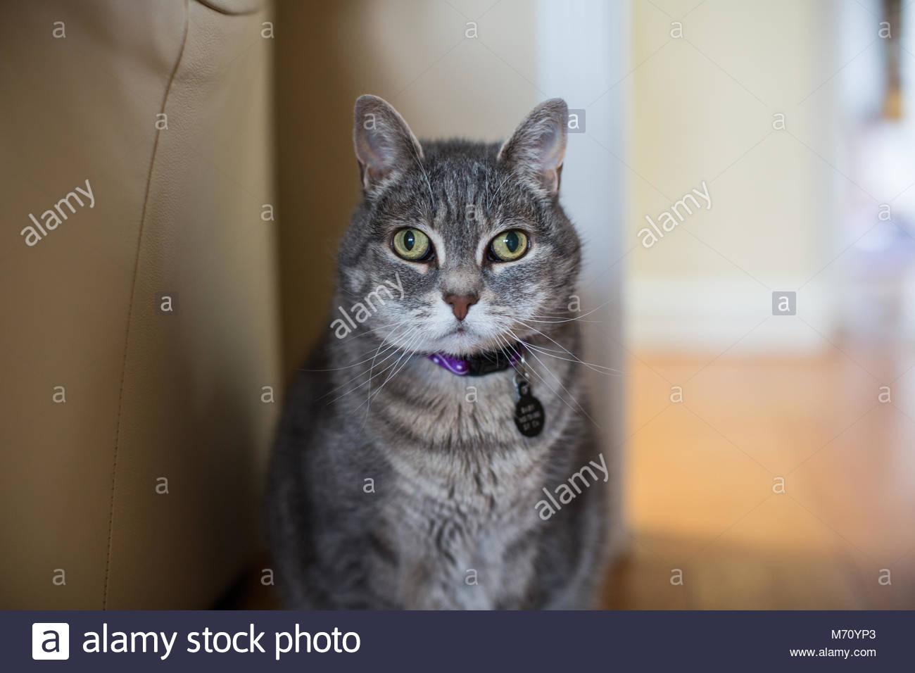 In der Nähe von Wall-eyed tabby Katze mit grünen Augen in Sitzung Stockbild
