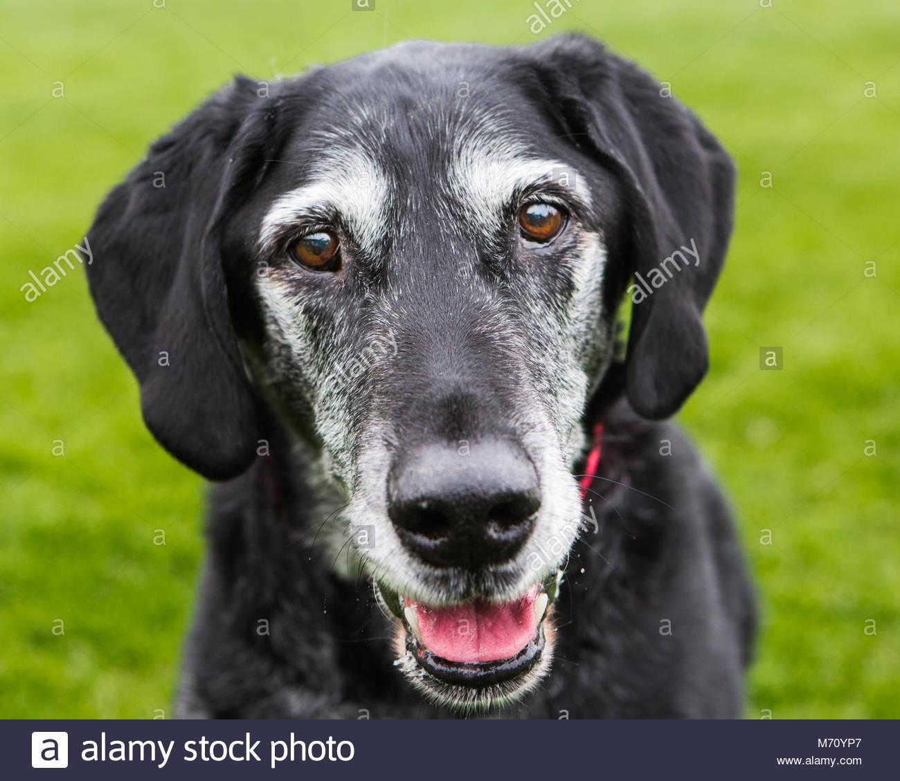 Close-up Lächeln glücklich auf der Suche älteren schwarzen Labrador Mix mit weißer Schnauze Stockbild