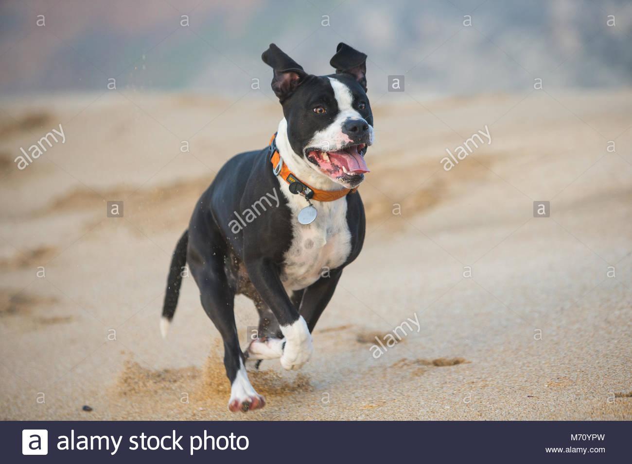 Gerne Schwarz und Weiß pitbull mix Hund mit orange Halsband laufen am Strand mit herausgestreckter Zunge Stockbild