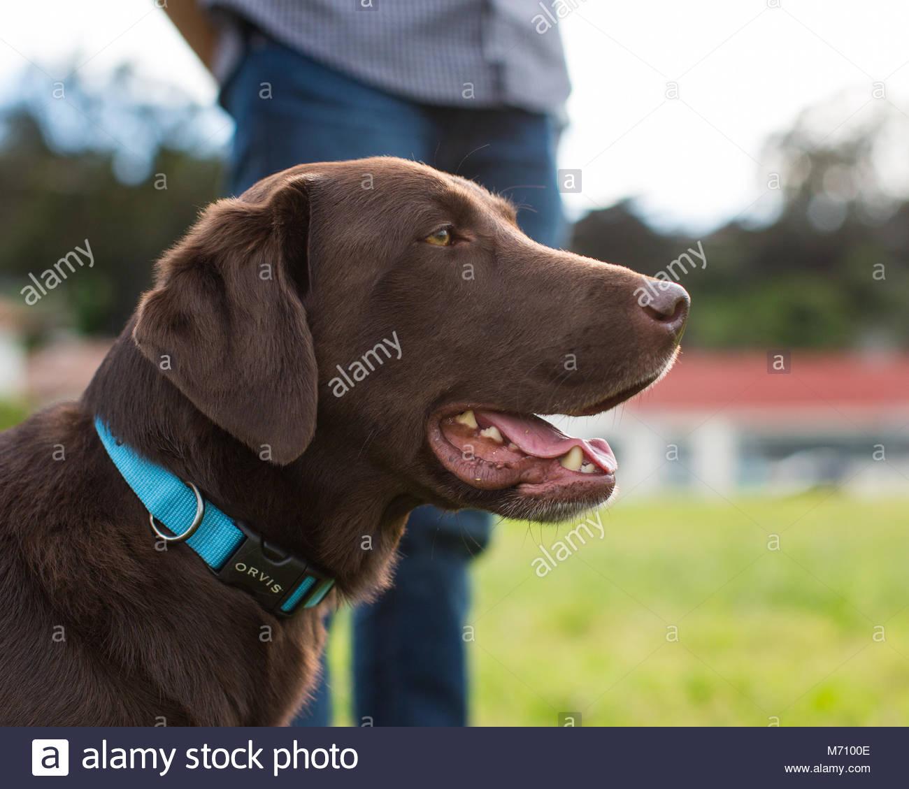 In der Nähe von Brown Chocolate Labrador Hund im Profil weiter weiter in Jeans auf den Menschen Stockbild