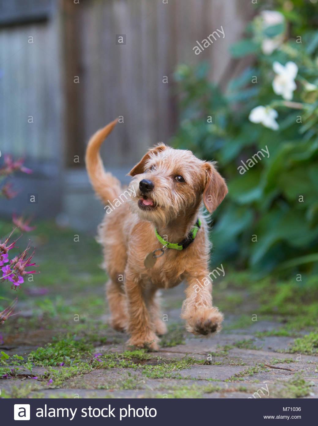 Braun Terrier Welpen zu Fuß in Richtung Kamera auf Stein weg mit offenem Mund, als ob Sprechen Stockbild