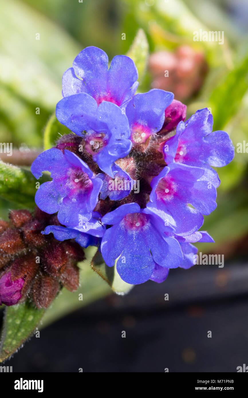 Rosa Zentriert Blaue Blumen Im Fruhling Bluhende Winterharte Staude