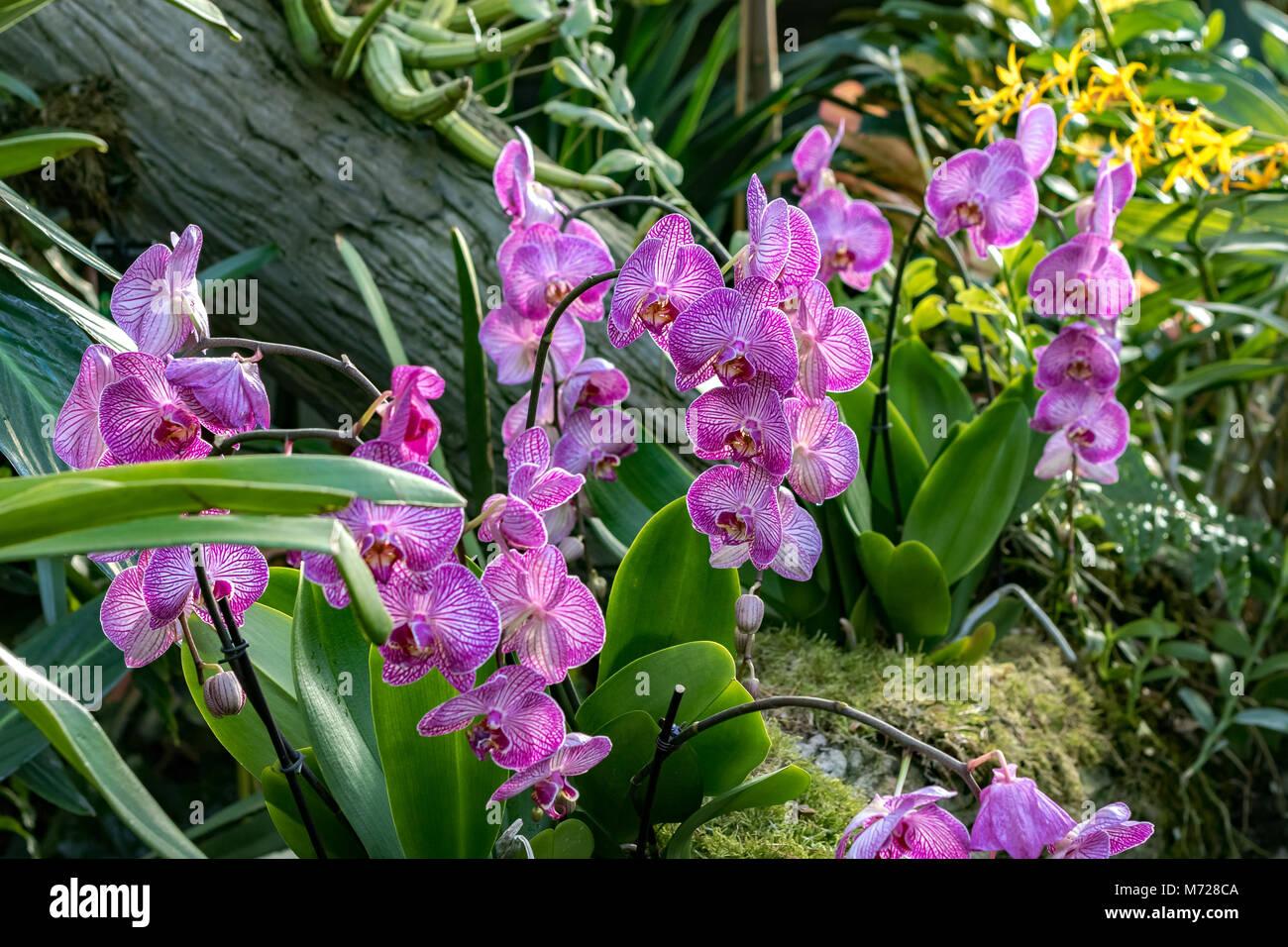 Orchidee Phalaenopsis Krone Streifen auch als Motten Orchideen bekannt Stockbild