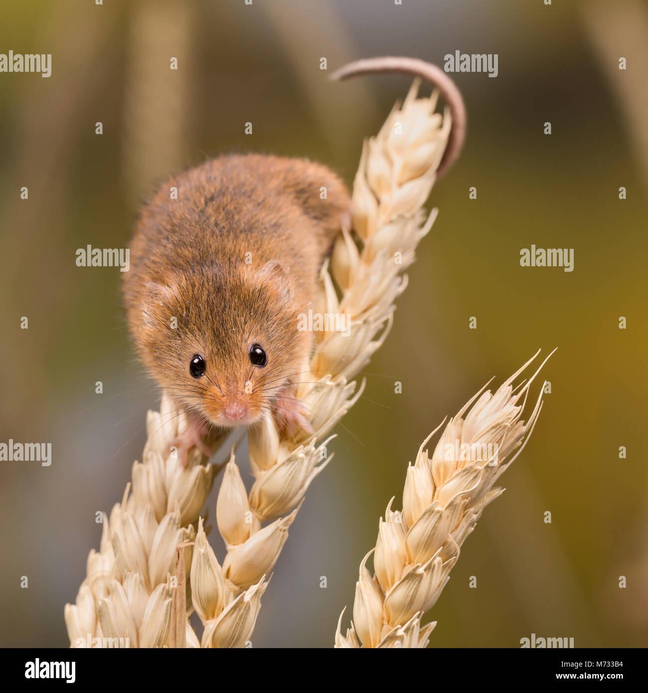 Micromys Minutus oder Harvest Maus im Weizenfeld Stockbild