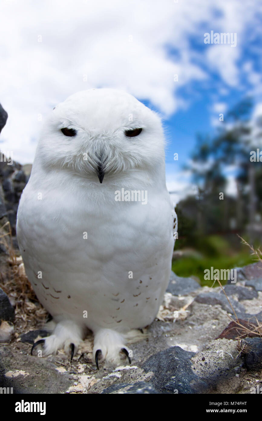 Schneeeule, Arktis Eule oder große weiße Eule, Nyctea Scandiaca, in Gefangenschaft. Stockbild