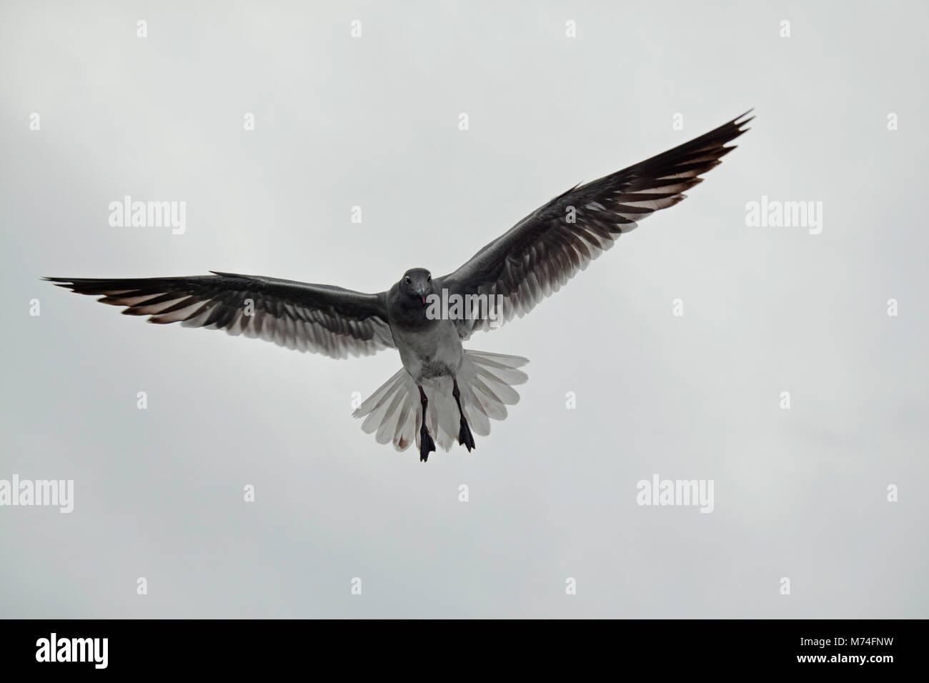 Lava Gull, Larus fuliginosus, im Flug über die Insel Santa Cruz. Mit der Bevölkerung auf weniger als 800 Stockbild