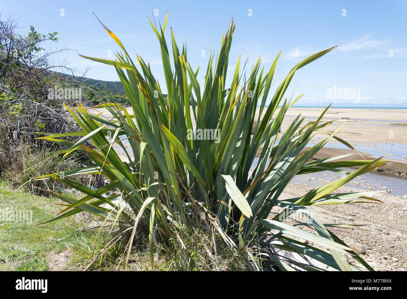 Heimat Neuseeland Flachspflanze (Formium), Sandy Bay, Abel Tasman National Park, Marahau, Tasman Bay, Tasman, Neuseeland Stockfoto