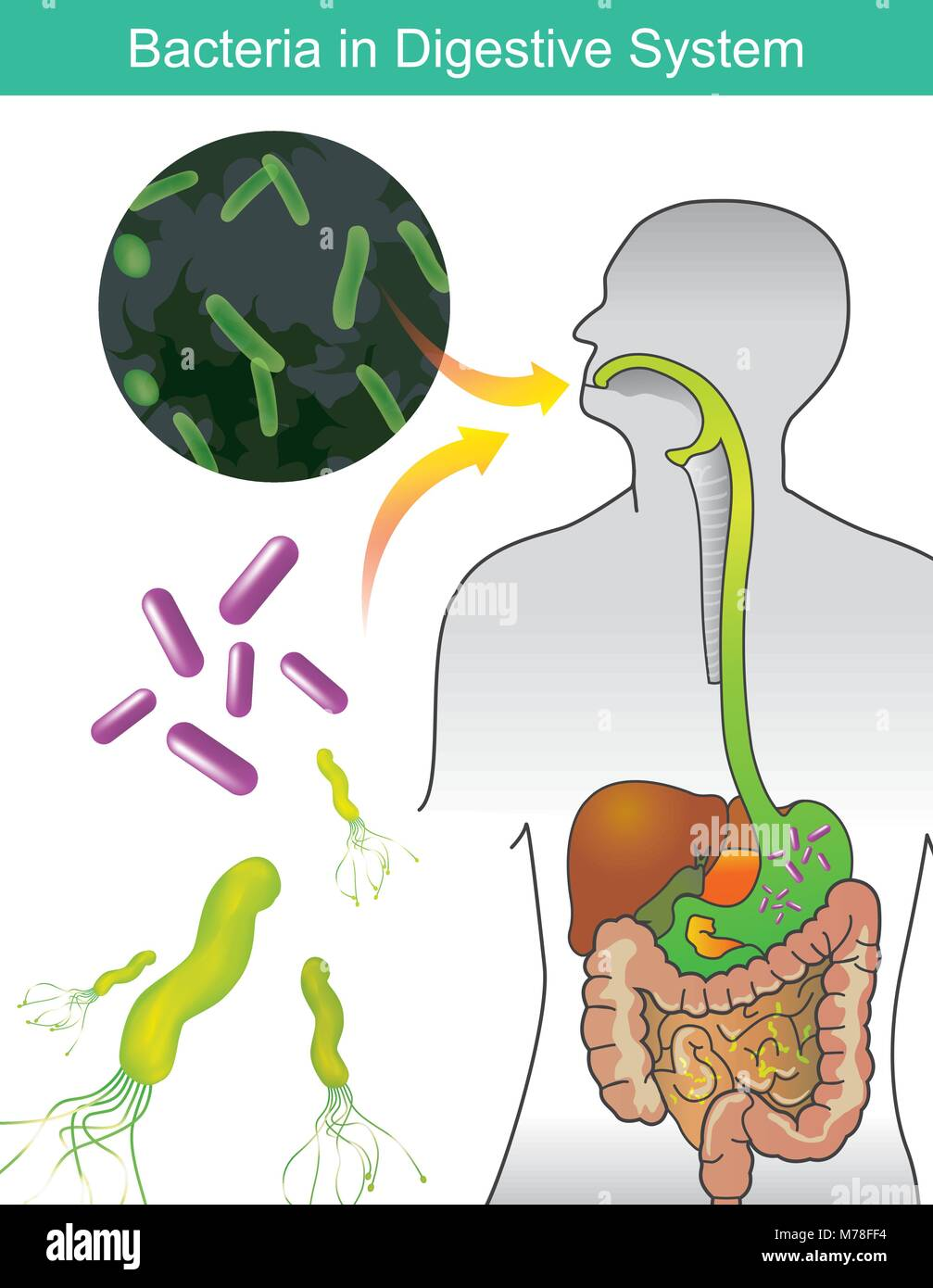 Digestive System Illustration Stockfotos & Digestive System ...