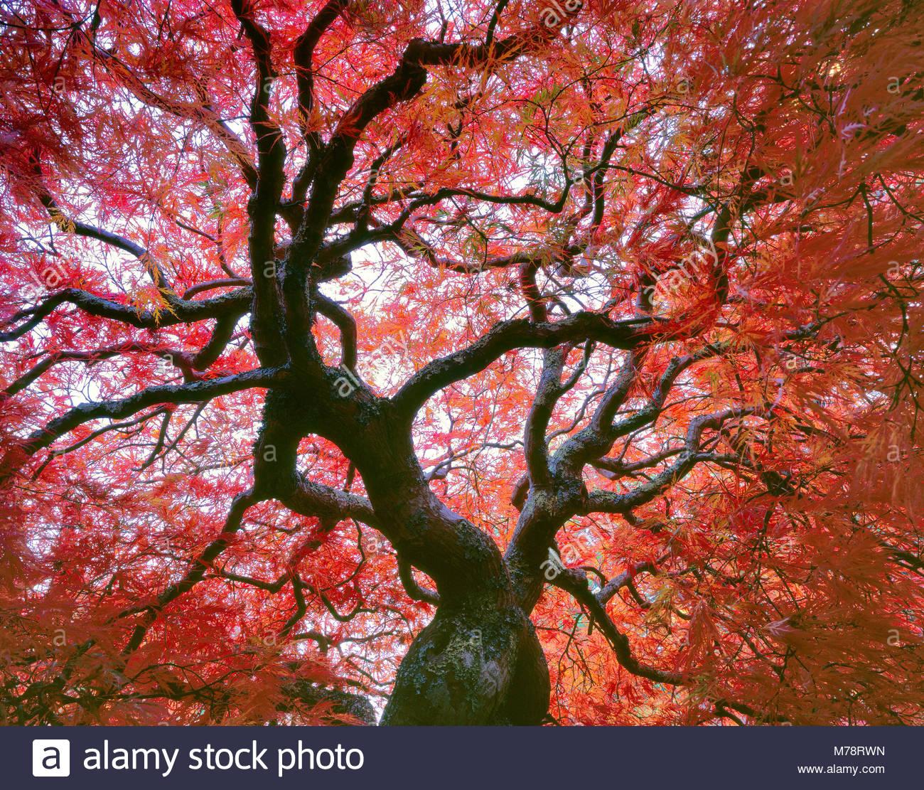 Spätherbst, japanische Ahorn, spitze Blätter, Acer palmatum, Farn Schlucht Garten, Mill Valley, Kalifornien Stockbild