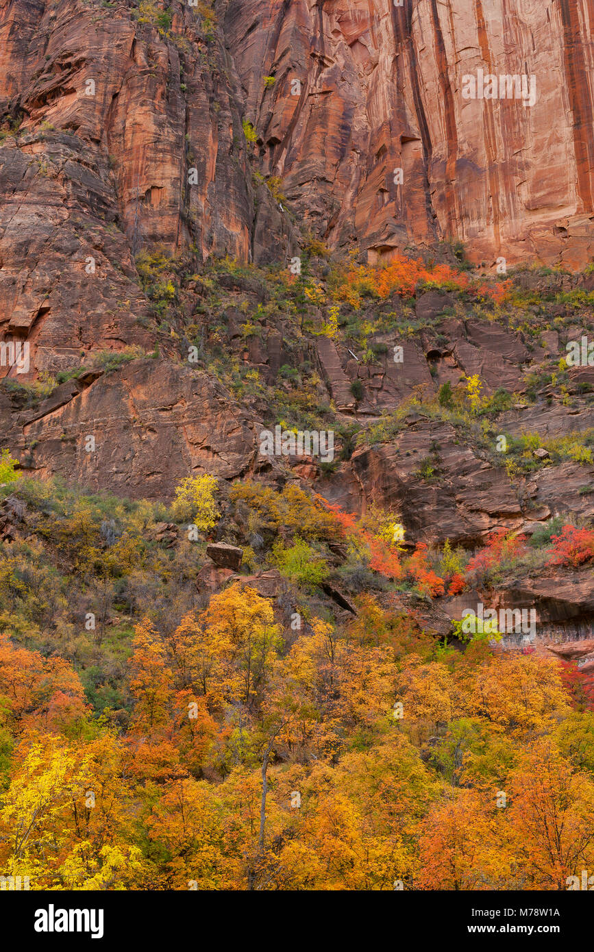 Grandidentatum bigtooth Ahorn, Acer, Zion Canyon, Zion National Park, Utah Stockfoto