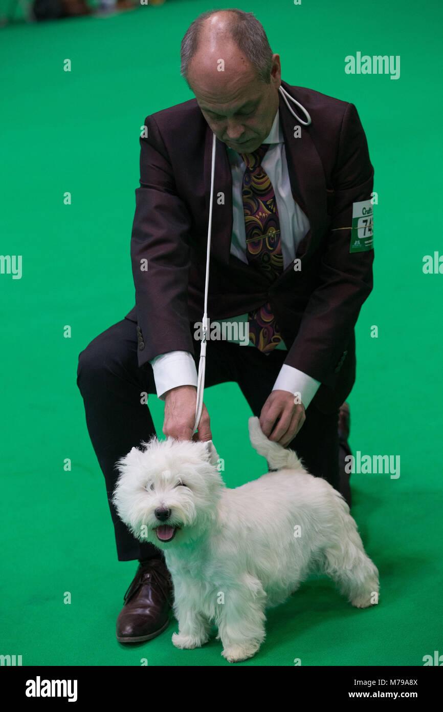 Ein West Highland White Terrier, gemeinhin als der Westie bekannt, erscheint während der Beurteilung Stufen am zweiten Tag der Crufts 2018 im NEC in Birmingham zu winken. Stockfoto