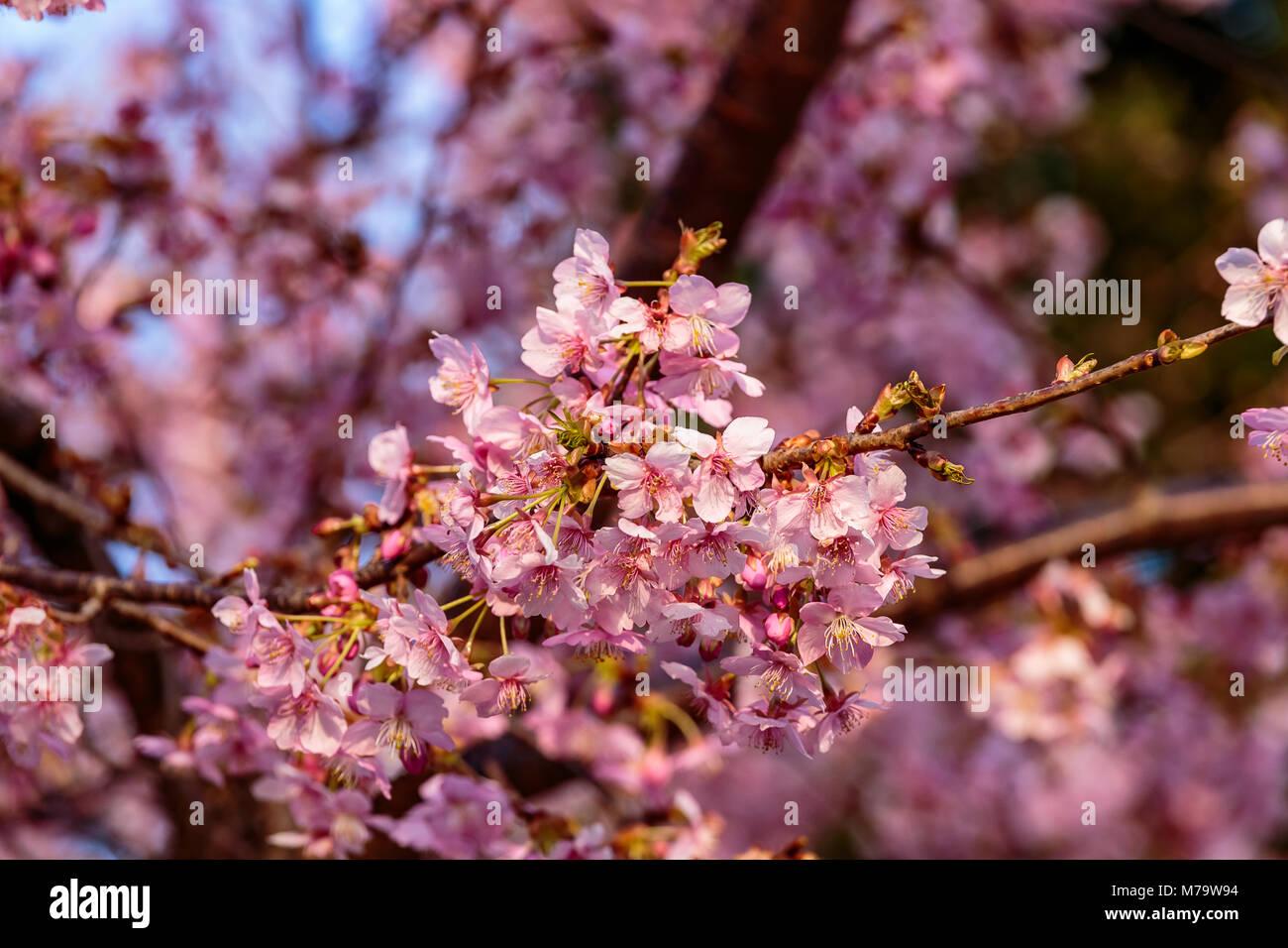 Leuchtend rosa Pflaume Blüten füllen die Bäume Ende Februar in Japan. Pflaumen sind eine der ersten Stockbild