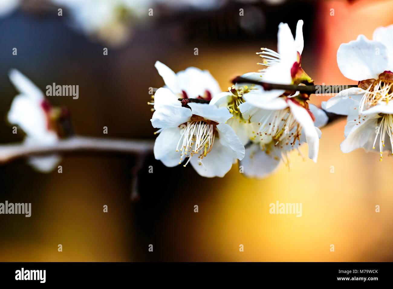 Eine kleine Gruppe aus weißen Pflaume Blüten auf einen unscharfen Hintergrund heraus. Pflaumen sind die Stockbild