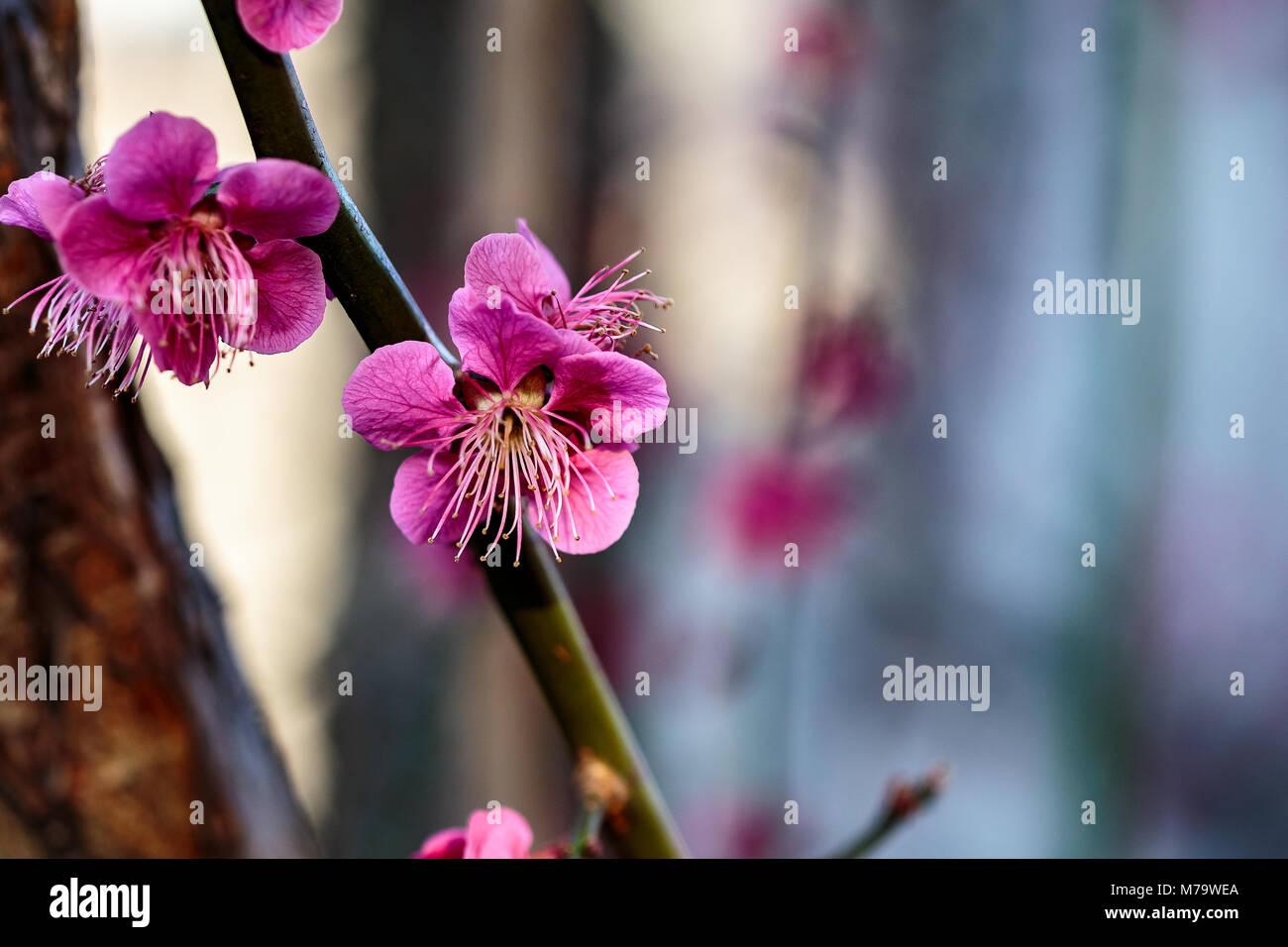 Eine rosa Blüte öffnet sich auf einen kleinen Zweig, mit Kopie Raum entlang der oberen und rechten Seite. Stockbild
