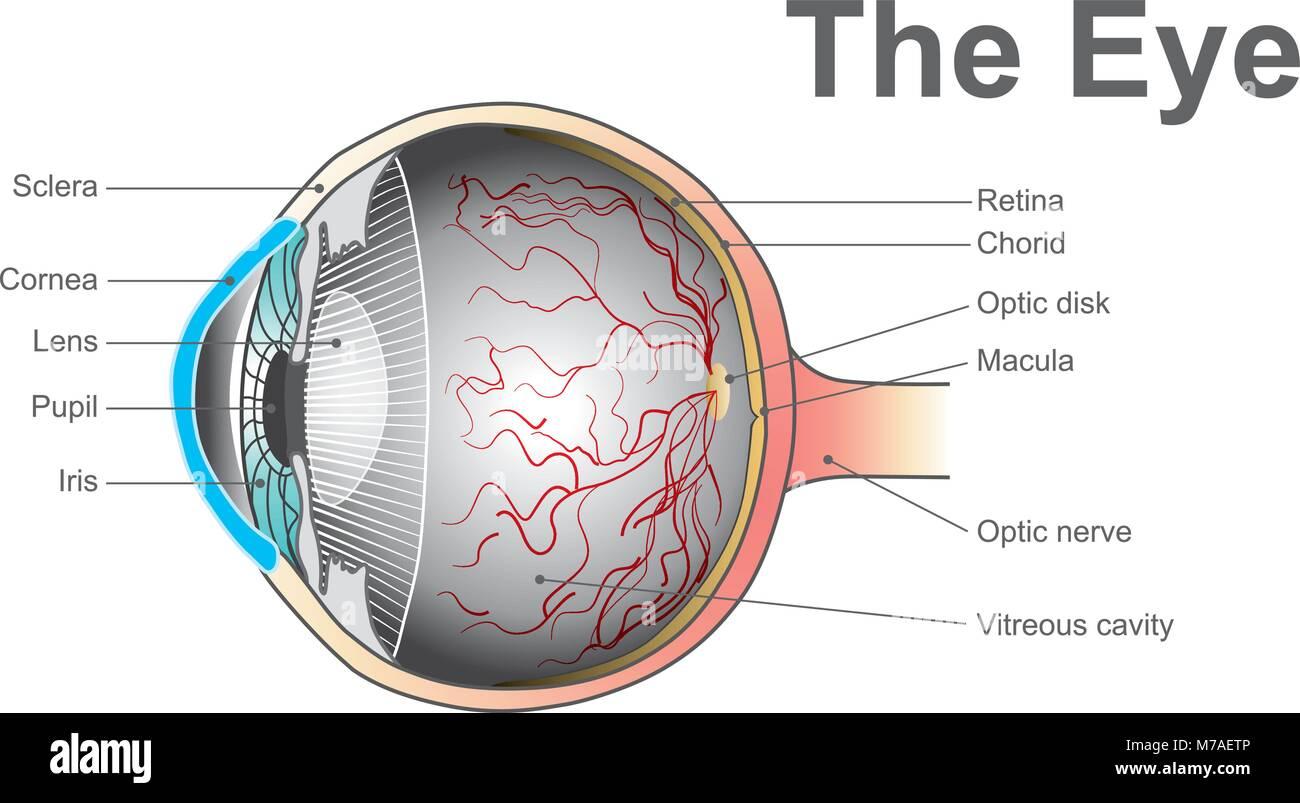 Wunderbar Menschliches Auge Anatomie Und Physiologie Ideen ...