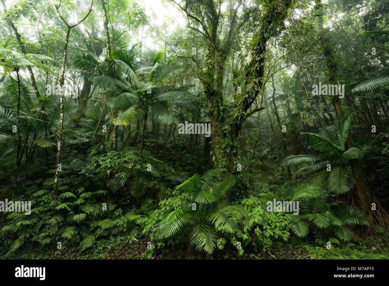 Grünen Dschungel Szene aus dem Regenwald Yunque auf der karibischen Insel Puerto Rico Stockbild
